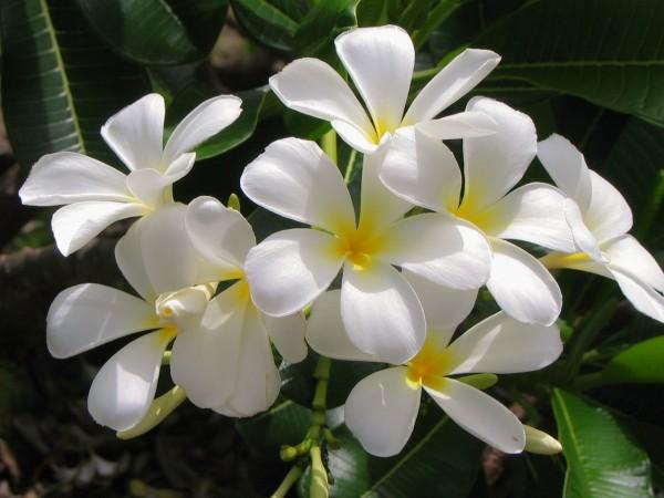 Jasmin bitkisi